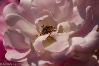 White pink rose flower for post called rejoice