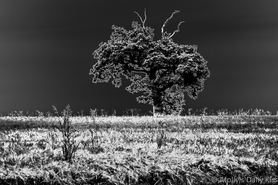 black and white infred polerized image of tree with wheat around it