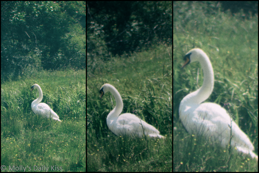 Triptych of beautiful wite majestic swan