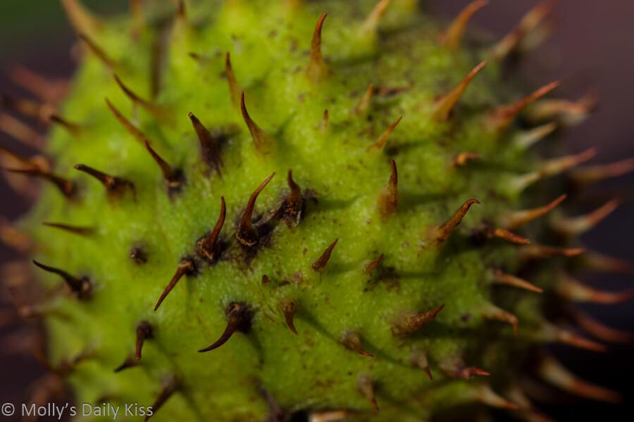 macro shot of spikes on conker shell