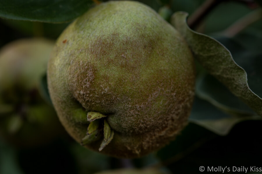 quince on a tree