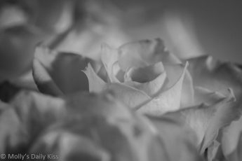 milk white rose in black and white