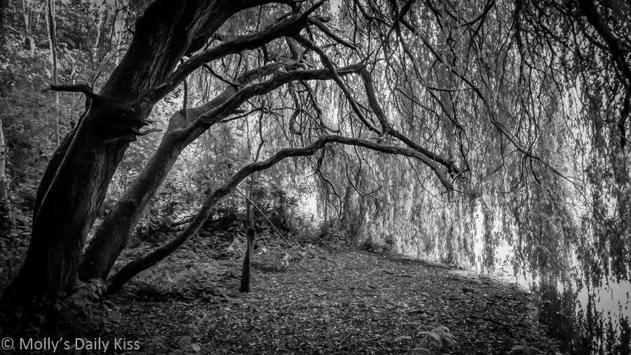 Black and white of willow tree hanging over water