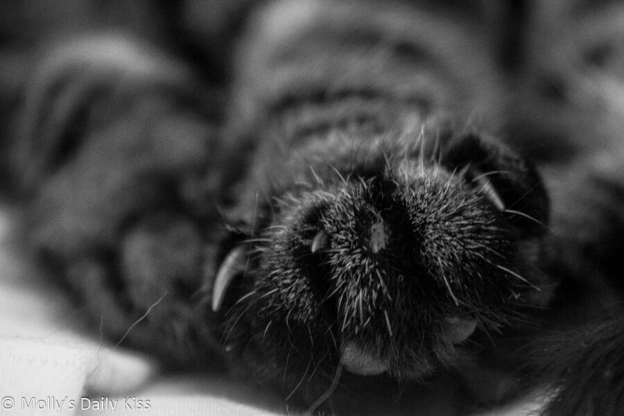 Black and white of miraculous cat paw wit claws showing