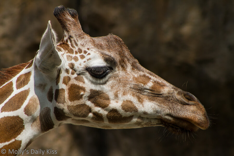 Detailed shot of Giraffes head in the sunlight