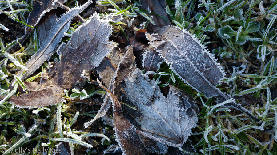 ice and frost clinging to leaves on the ground.
