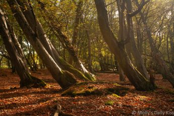 Serene autumn woodland with leaning trees