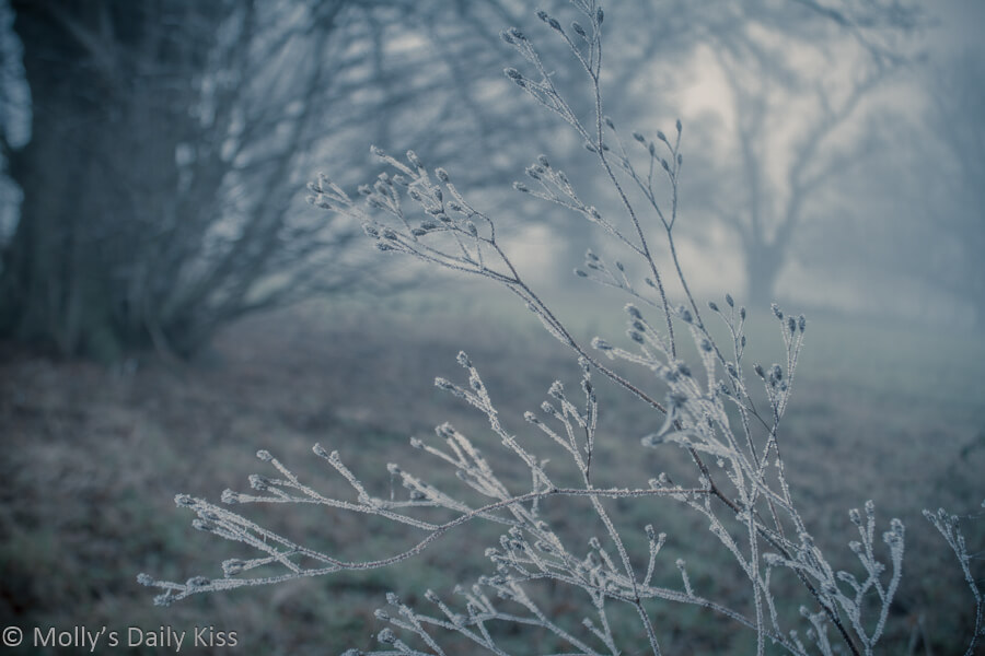 frost clinging to seed heads with bluest tones