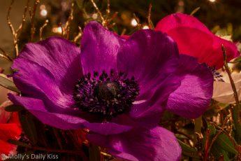 Pruple Christmas Rose