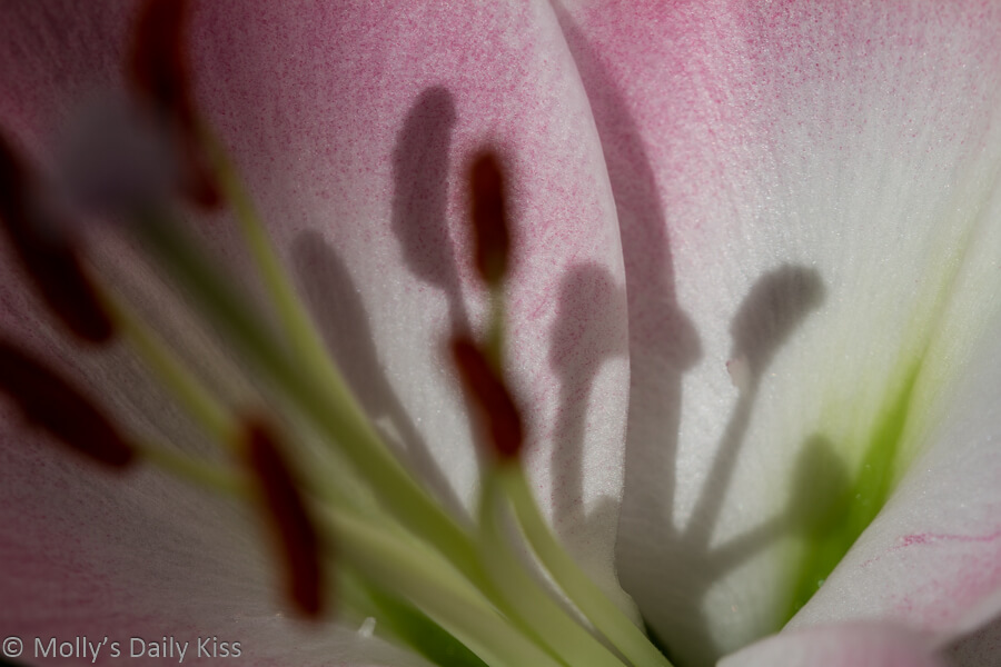 macro shot of pink lilly with shadow staman