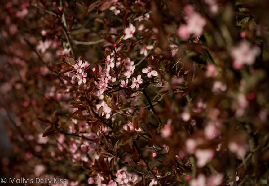 pink spirng blossom
