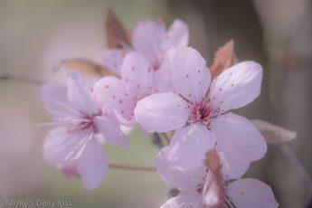 Cherry tree pink blossom