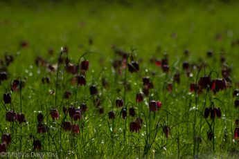snake's head fritillary in the meadow at Oxford