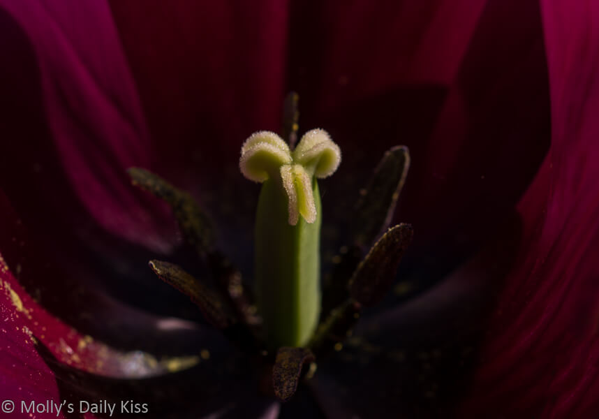 macro shot of tulip stamen