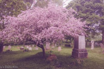 cherry blossom tree in graveyard at Tewin