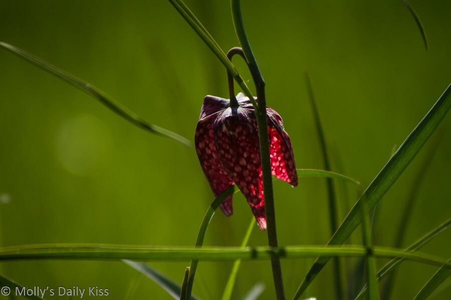 Fritillary flower head in the grass