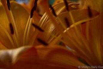 macro shot of orange lillies