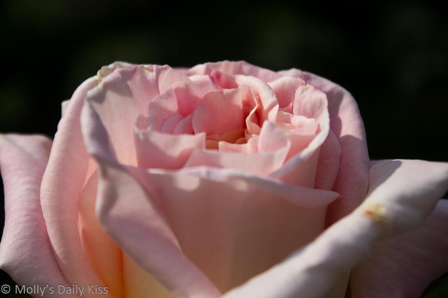 Pink rose secrets