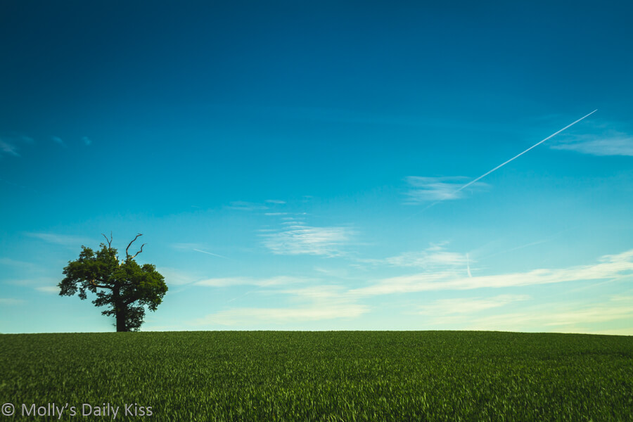 single tree in field of green crops