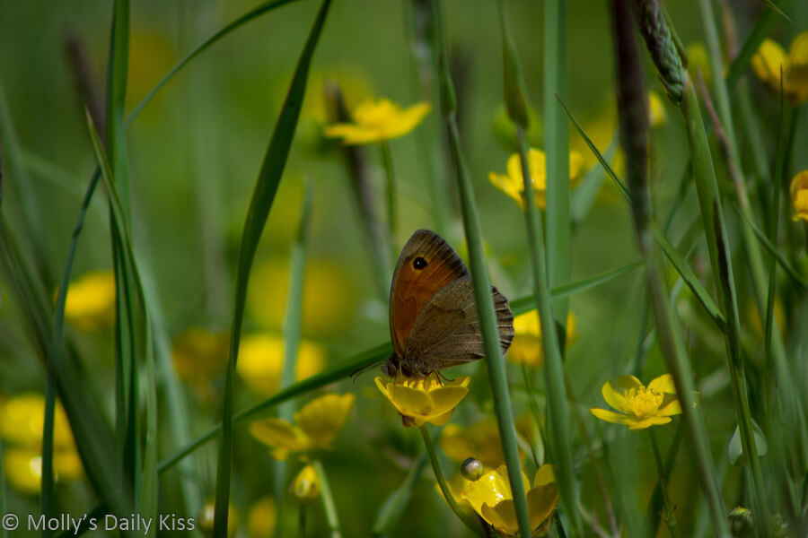 Brown butterfly on buttercup