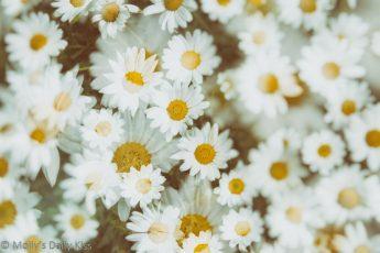Double exposure of daisies