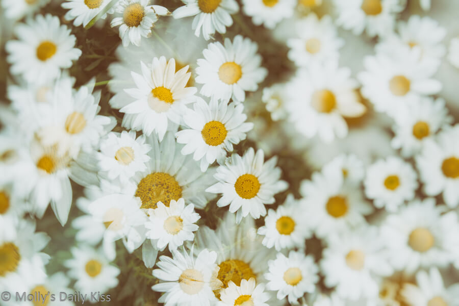 Double exposure of daisies