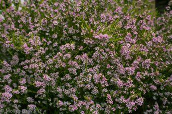 pnk flowers on a Diosma Hirsuta bush