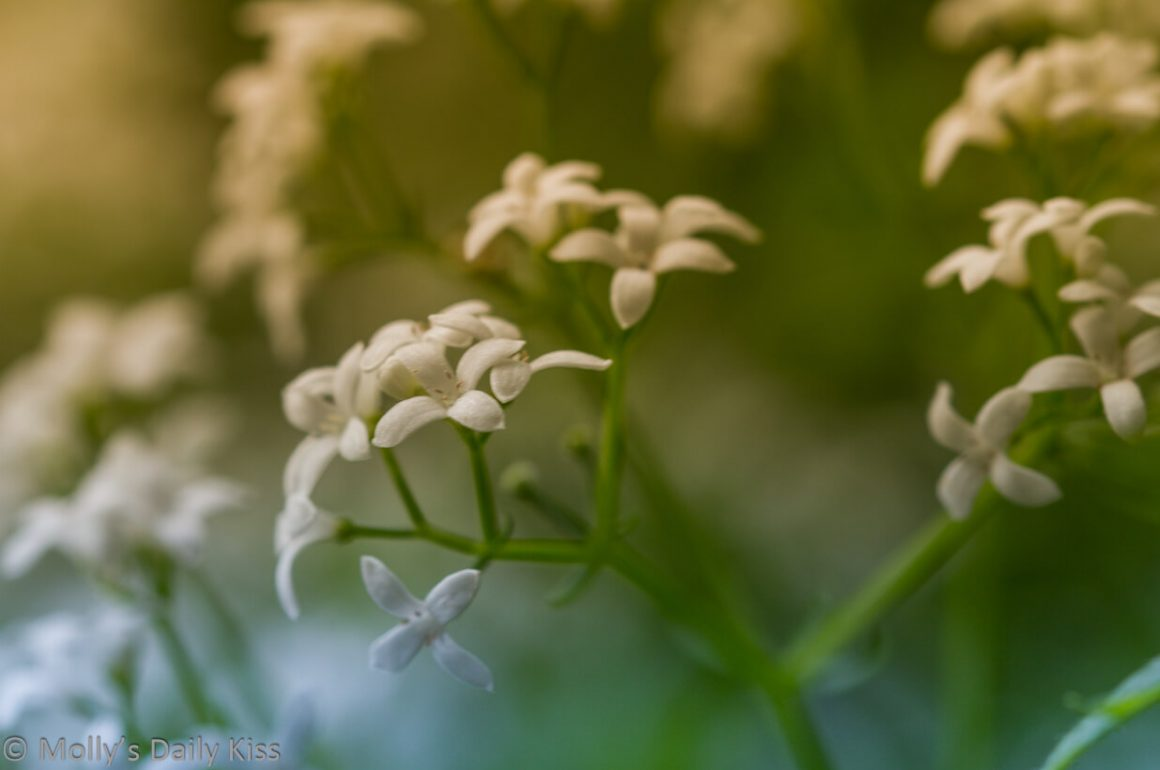 small pretty white flowers for post called blameless life