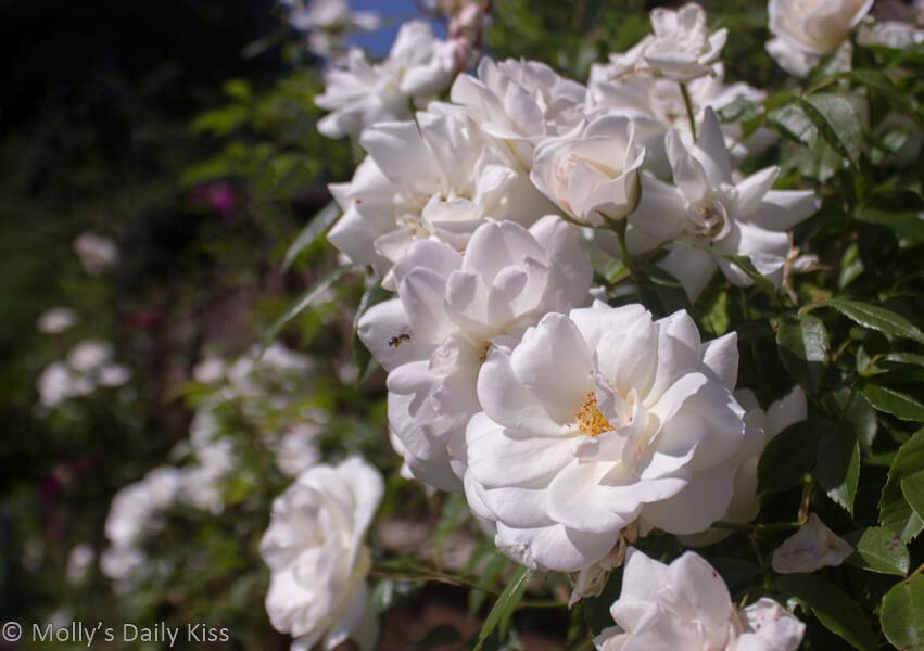 milk-white roses