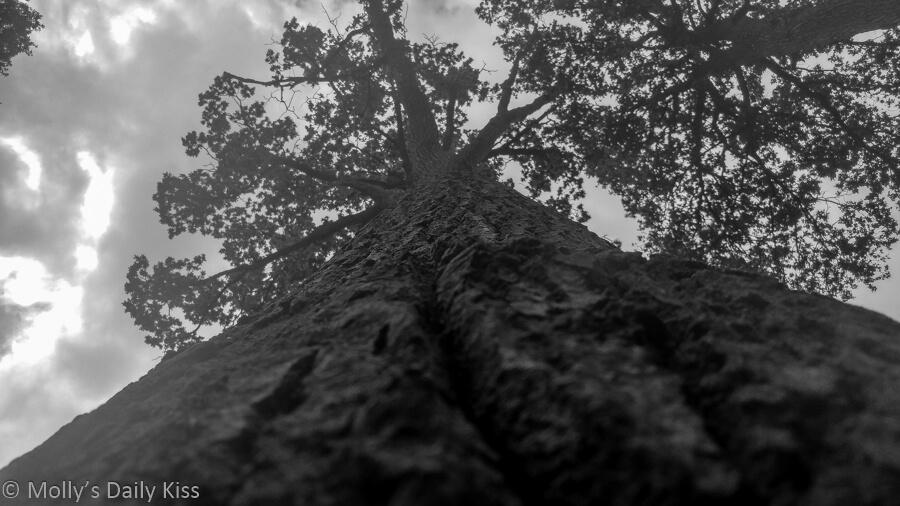 looking up huge tree trunk edited in black and white