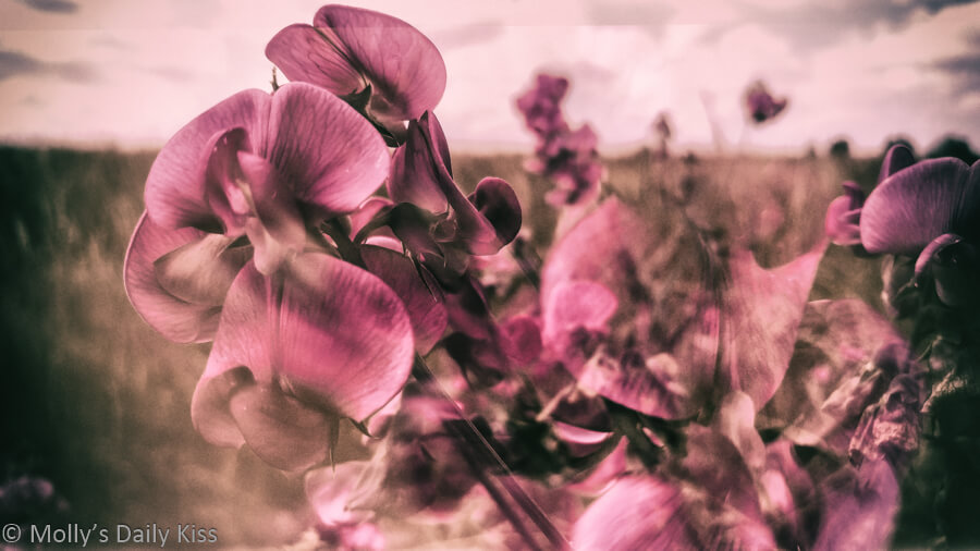 wild sweet peas double exposure