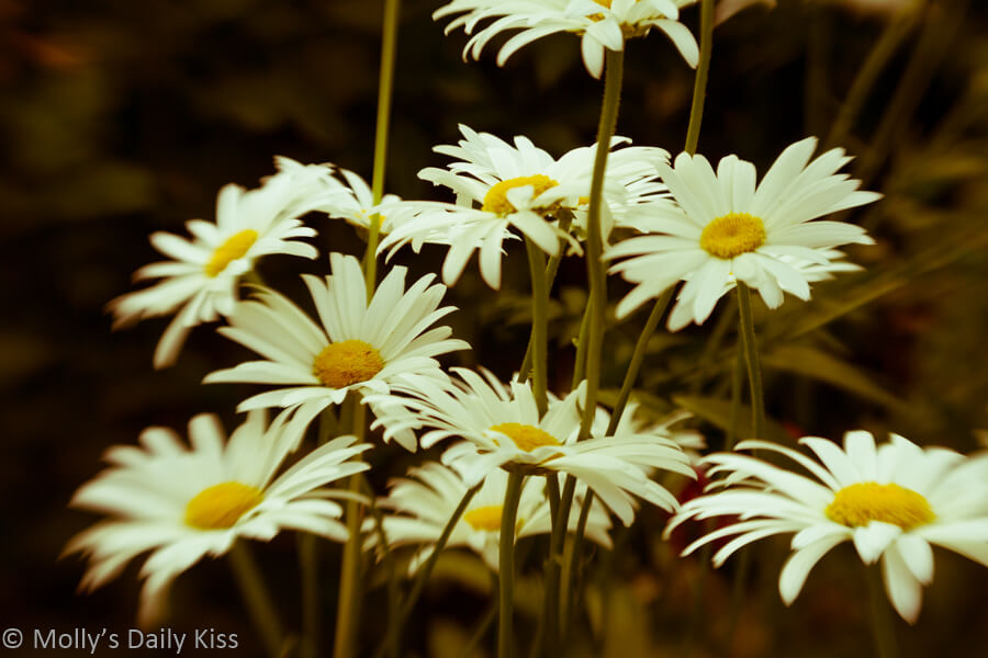 vintage edit of white oxeye daisys