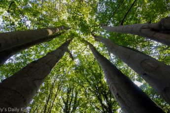 looking up through majestic trees