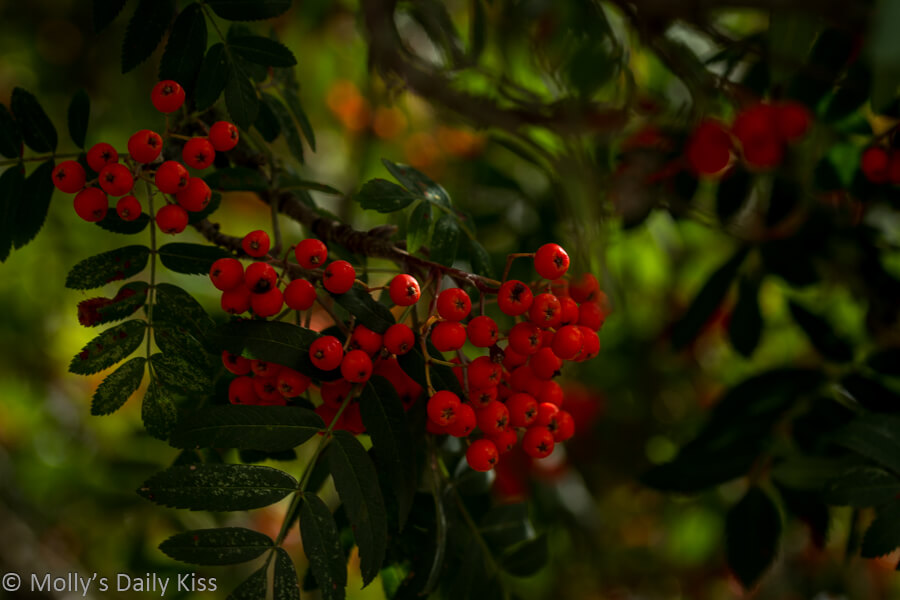 small red berries on autumn bush