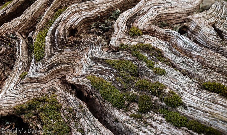 swrils of wood on fallen tree