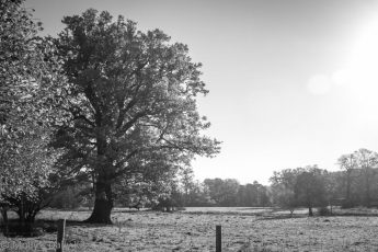 black and white of autumn oak tree in the sunshine
