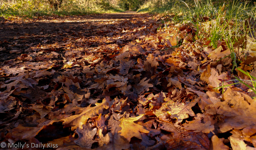golden fallen leaves on the path in sunlight