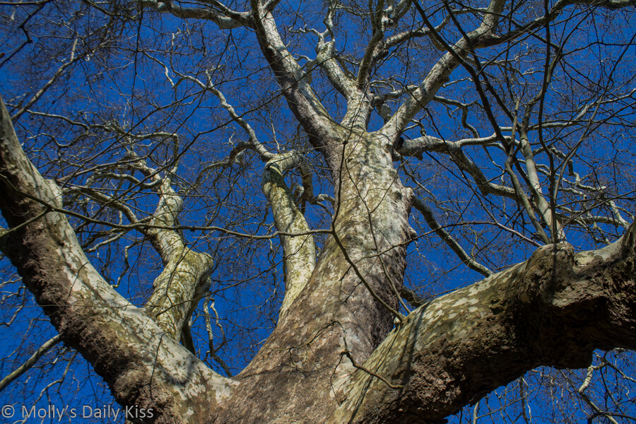looking up winter tree at bright blue sky above