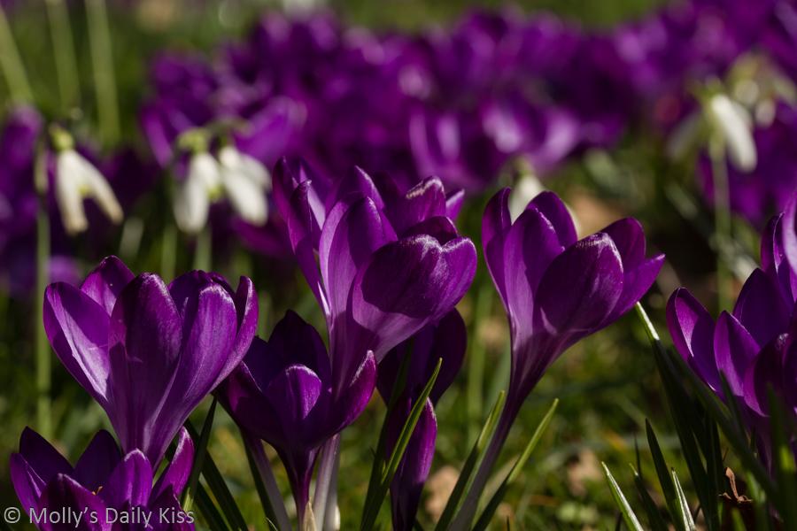 purple crocus in sunlight is the breath of spring