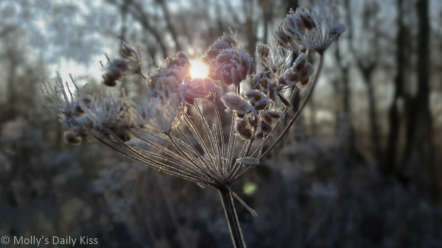 sunlight through frosted cow parsley seedhead in winter woods