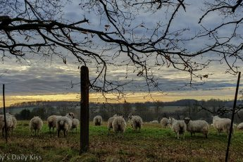 sheep on bank looking out to morning dawn light