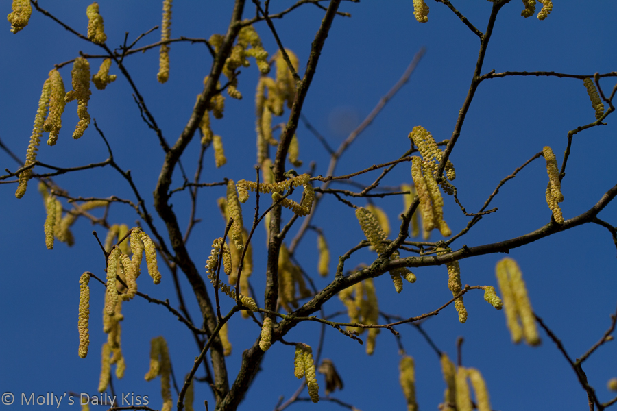 Catkins hanging down with blue sky