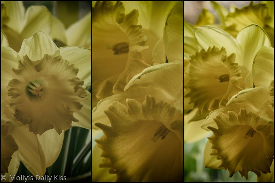 Triptych of daffodils