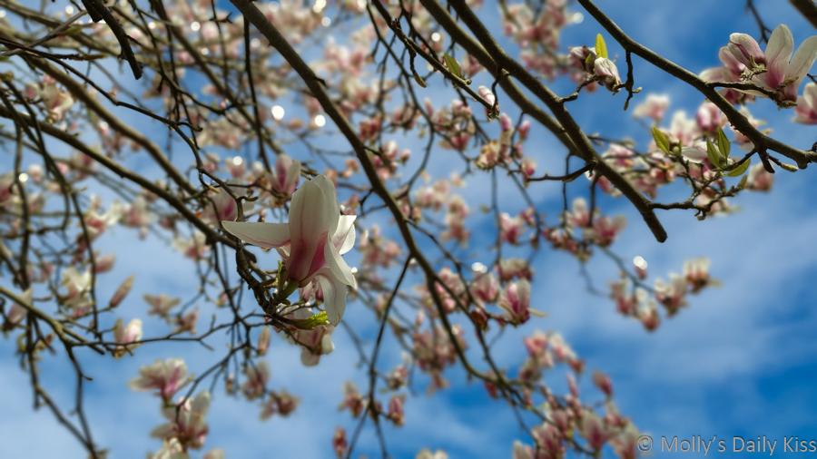 Magnolia blooms against blue sky