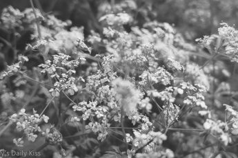 cow parsley flowers in black and white for summer beautiful season