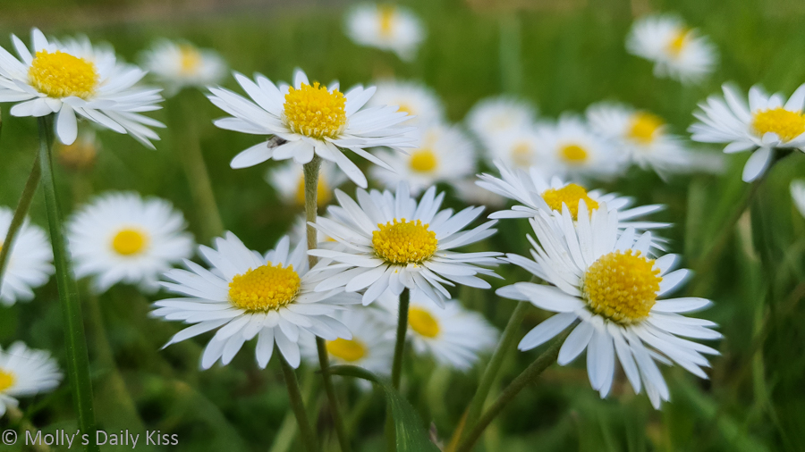 daisies on the grass