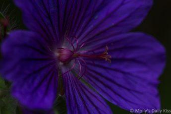 Purple blue Hardy Geranium