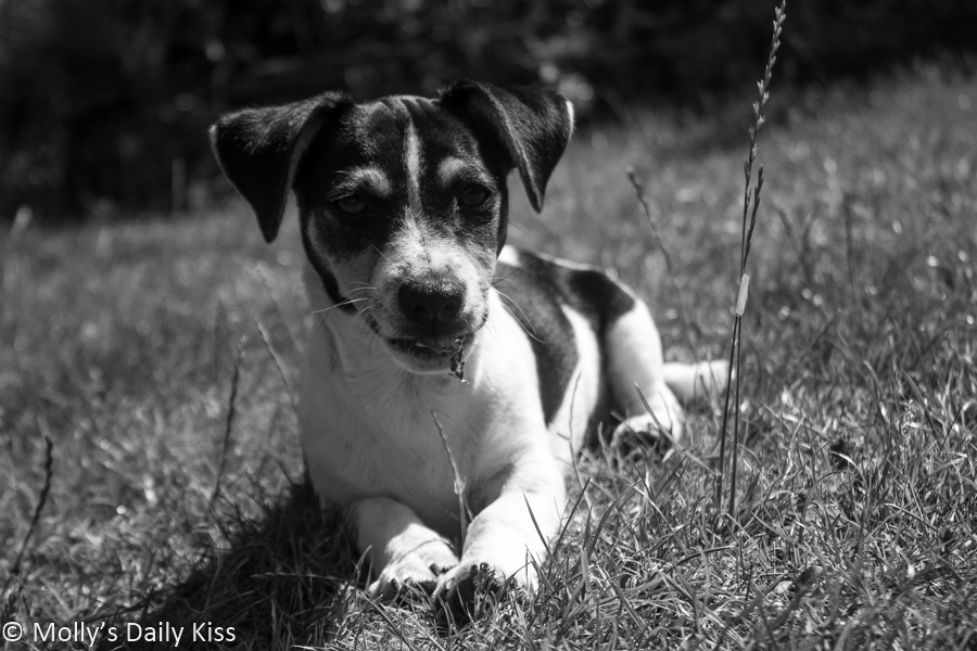 Black and white image of jack russel puppy dog