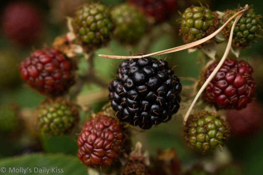 one ripe swollen blackberry