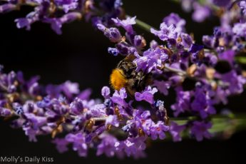 Bumble bee on purple lavender